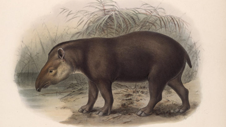 a 19th Century painiting of a tapir
